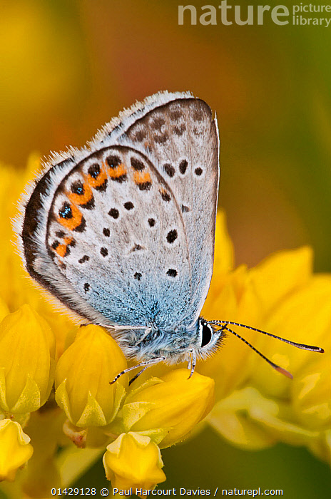 Silver-studded blue butterfly (Plebejus argus) Campo Imperatore, Gran Sasso, Appennines, Abruzzo, Italy, July  ,  ALPINE,ARTHROPODS,BUTTERFLIES,EUROPE,FLOWERS,INSECTS,INVERTEBRATES,ITALY,LEPIDOPTERA,LYCAENIDAE,VERTICAL,Apennines,Appennines,  ,  Paul Harcourt Davies