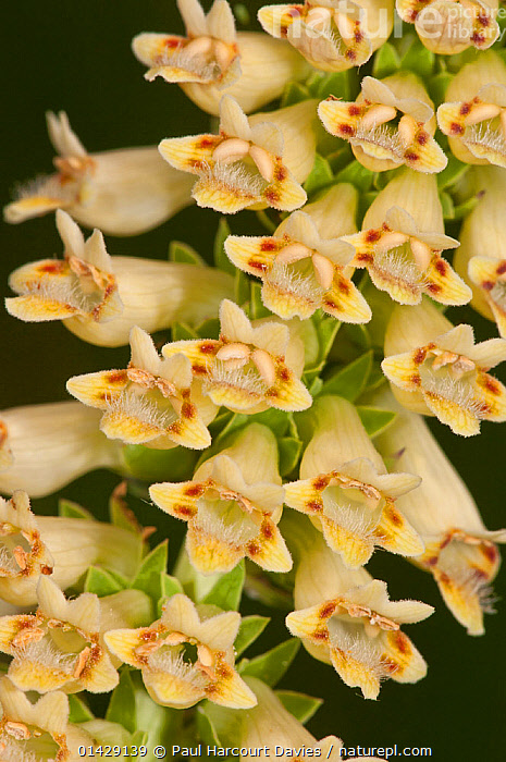 Apennine Foxglove (Digitalis lutea subsp. australis) in flower, Campo Imperatore, Gran Sasso, Appennines, Abruzzo, Italy, July  ,  ALPINE,DICOTYLEDONS,EUROPE,FLOWERS,ITALY,PLANTS,SCROPHULARICEAE,VERTICAL,Apennines,Appennines,  ,  Paul Harcourt Davies