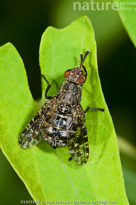 Picture-winged fly (Platystoma seminationis) Podere Montecucco, Orvieot, Umbria, Italy, July  ,  ARTHROPODS,DIPTERA,EUROPE,FLIES,INSECTS,INVERTEBRATES,ITALY,SIGNAL FLIES,VERTICAL  ,  Paul Harcourt Davies
