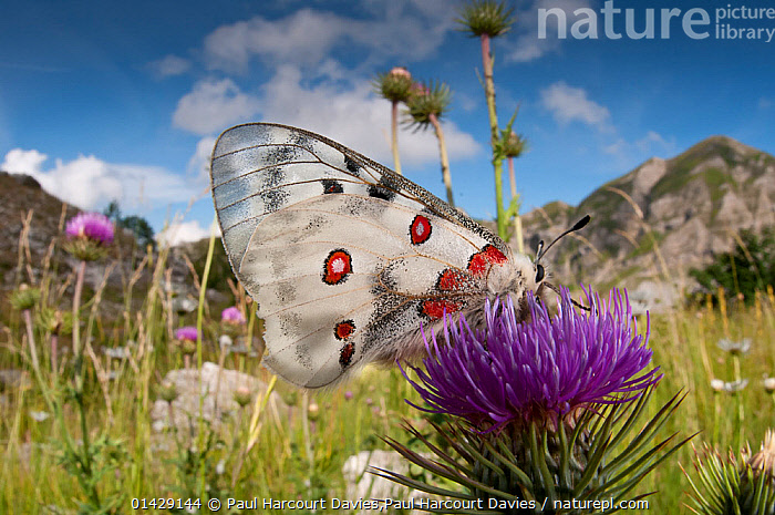 Apollo butterfly  (Parnasius apollo) feeding on flower, Mount Terminillo, Rieti, Lazio, Italy, July 2011  ,  ALPINE,ARTHROPODS,BUTTERFLIES,EUROPE,FEEDING,FLOWERS,HABITAT,INSECTS,INVERTEBRATES,ITALY,LANDSCAPES,LEPIDOPTERA,MOUNTAINS,POLLINATION,catalogue6,PARNASSIUS APOLLO,Animal,Arthropod,Insect,Swallowtail butterfly,Snow apollo,Apollo,Animalia,Animal,Wildlife,Hexapoda,Arthropod,Invertebrate,Hexapod,Arthropoda,Insecta,Insect,Lepidoptera,Lepidopterans,Papilionidae,Swallowtail butterfly,Papilionid,Butterfly,Parnassius,Snow apollo,Parnassius apollo,Apollo,Apollo butterfly,Mountain butterfly,Mountain apollo,Ichel,Papilio apollo,Colour,Purple,Red,White,No One,Nobody,Pattern,Patterned,Patterns,Spotted,Europe,Southern Europe,South Europe,Italy,Lazio,Side View,Camera Focus,Selective Focus,Focus On Foreground,Focus On Foregrounds,Wing,Wings,Outdoors,Open Air,Outside,Day,Feeding,Shallow depth of field,Low depth of field,Animal marking,White colour,Flowerhead,Mount Terminillo,Rieti,Endangered species,,Dispersal,  ,  Paul Harcourt Davies,Paul  Harcourt Davies