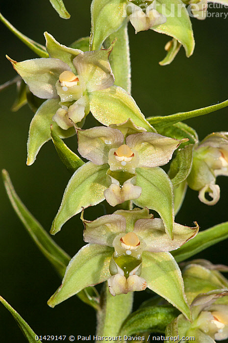 Narrow-lipped helleborine (Epipactis leptochila var neglecta) in flower, Mount Terminillo, Rieti, Lazio, Italy, July  ,  EUROPE,FLOWERS,GREEN,ITALY,MONOCOTYLEDONS,ORCHIDACEAE,ORCHIDS,PLANTS,VERTICAL  ,  Paul Harcourt Davies