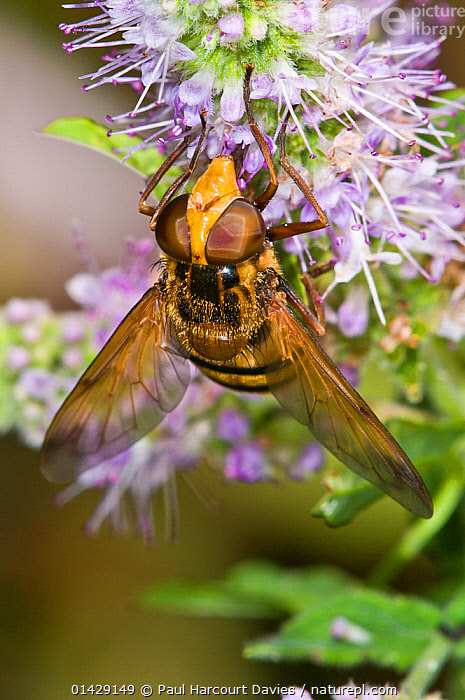 Hoverfly (Milesia crabroniformis) feeding on flower, Aquapendente, Lazio, Italy, July  ,  DIPTERA,EUROPE,FEEDING,FLOWERS,HOVER FLIES,INSECTS,INVERTEBRATES,ITALY,POLLINATION,VERTICAL,,Dispersal,  ,  Paul Harcourt Davies