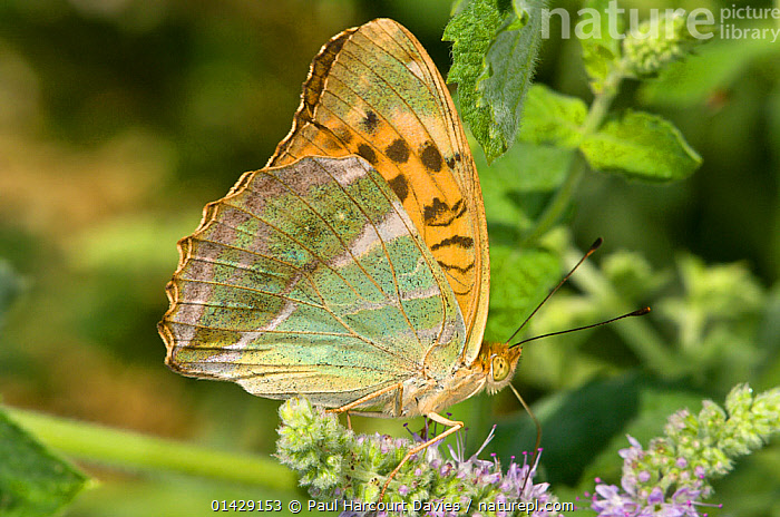 Silver-Washed Fritillary butterfly (Argynnis paphia) Montecucco, Umbria, Italy, July  ,  ARTHROPODS,BUTTERFLIES,EUROPE,INSECTS,INVERTEBRATES,ITALY,LEPIDOPTERA  ,  Paul Harcourt Davies