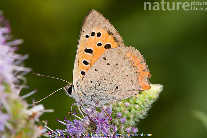 Small copper butterfly (Lycaena phlaeas) on flower, with wings closing, La Renara, Orvieto, Umbria, Italy, July  ,  ARTHROPODS,BUTTERFLIES,EUROPE,INSECTS,INVERTEBRATES,ITALY,LEPIDOPTERA  ,  Paul Harcourt Davies