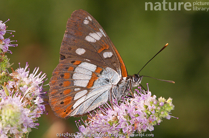 Southern White Admiral butterfly (Limenitis reducta) feeding, Podere Montecucco, Orvieto, Umbria, Italy, July  ,  ARTHROPODS,BUTTERFLIES,EUROPE,FEEDING,FLOWERS,INSECTS,INVERTEBRATES,ITALY,LEPIDOPTERA,POLLINATION,,Dispersal,  ,  Paul Harcourt Davies
