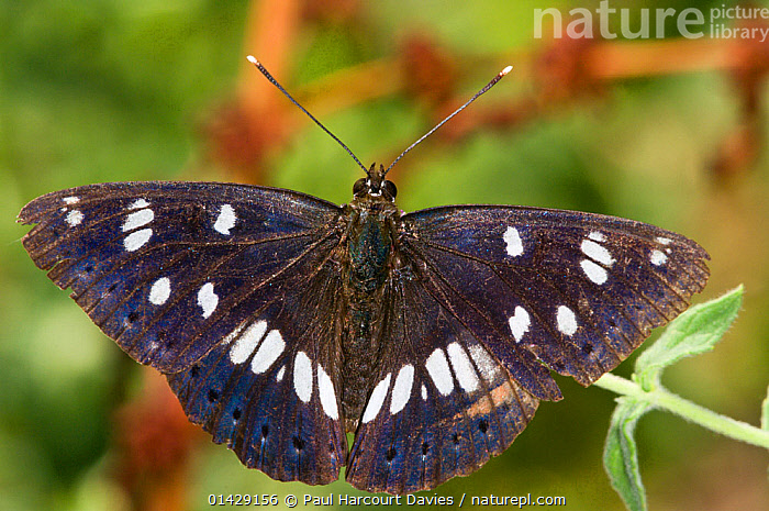 Southern White Admiral butterfly (Limenitis reducta) with wings spread, Podere Montecucco, Orvieto, Umbira, Italy, July  ,  ARTHROPODS,BUTTERFLIES,EUROPE,INSECTS,INVERTEBRATES,ITALY,LEPIDOPTERA  ,  Paul Harcourt Davies