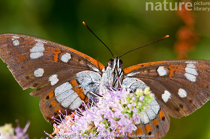 Southern White Admiral butterfly (Limenitis reducta) feeding on nectar, Podere Montecucco, Orvieto, Umbria, Italy, July  ,  ARTHROPODS,BUTTERFLIES,EUROPE,FEEDING,FLOWERS,INSECTS,INVERTEBRATES,ITALY,LEPIDOPTERA,POLLINATION,,Dispersal,  ,  Paul Harcourt Davies