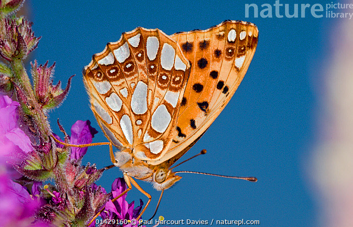 Queen of Spain fritillary butterfly (Issoria lathonia) feeding, Podere Montecucco, Orvieto, Umbria, Italy, July  ,  ARTHROPODS,BUTTERFLIES,EUROPE,FEEDING,INSECTS,INVERTEBRATES,ITALY,LEPIDOPTERA,POLLINATION,PROFILE,,Dispersal,  ,  Paul Harcourt Davies