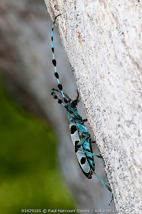 Alpine Longhorn Beetle (Rosalia alpina) a rare and protected longhorn beetle living on rotten chestnut trunks in the Italian Appennines, Camosciara, Italy, July  ,  BEETLES,BLUE,COLEOPTERA,EUROPE,INSECTS,INVERTEBRATES,ITALY,LONGHORN BEETLES,PROFILE,VERTICAL,Apennines,Appennines,  ,  Paul Harcourt Davies