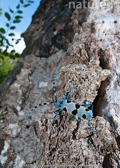Alpine Longhorn Beetle (Rosalia alpina) a rare and protected longhorn beetle living on rotten chestnut trunks in the Italian Appennines, Camosciara, Italy, July  ,  BEETLES,BLUE,COLEOPTERA,EUROPE,INSECTS,INVERTEBRATES,ITALY,LONGHORN BEETLES,VERTICAL,Apennines,Appennines,  ,  Paul Harcourt Davies