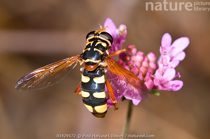Hoverfly (Chrysotoxum intermedium / elegans) feeding on nectar, Aquapendente, Italy, July  ,  ARTHROPODS,DIPTERA,EUROPE,FLIES,FLOWERS,HOVERFLIES,INSECTS,INVERTEBRATES,ITALY  ,  Paul Harcourt Davies