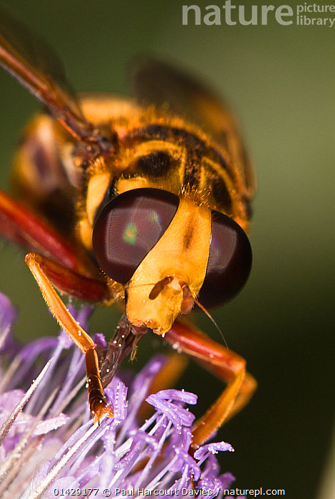 Hoverfly (Milesia crabroniformis) feeding on flower, Torrealfina near Orvieto, Italy, July  ,  DIPTERA,EUROPE,FEEDING,FLOWERS,HOVER FLIES,INSECTS,INVERTEBRATES,ITALY,VERTICAL,,hover-fly,  ,  Paul Harcourt Davies
