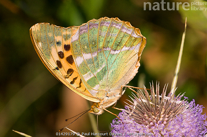 Silver-Washed Fritillary butterfly (Argynnis paphia) feeding, Montegiove near Orvieto, Umbria, Italy, July  ,  ARTHROPODS,BUTTERFLIES,EUROPE,FLOWERS,INSECTS,INVERTEBRATES,ITALY,LEPIDOPTERA  ,  Paul Harcourt Davies