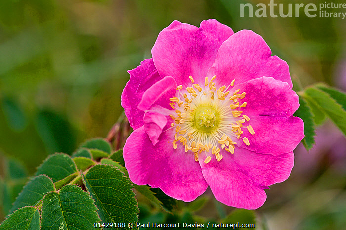 Alpine Rose (Rosa alpina) in flower, Mount Terminillo, Rieti, Lazio  ,  ALPINE,DICOTYLEDONS,EUROPE,FLOWERS,ITALY,PINK,PLANTS,ROSACEAE  ,  Paul Harcourt Davies
