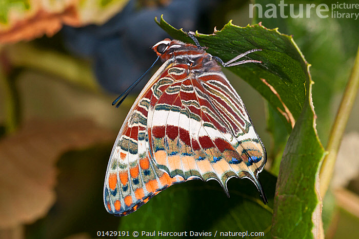 Two-tailed Pasha butterfly (Charaxes jasius) resting on leaf, Podere Montecucco. Orvieto, Umbria, Italy, August  ,  ARTHROPODS,BRUSH FOOTED BUTTERFLIES,BUTTERFLIES,CHARAXES,EUROPE,INSECTS,INVERTEBRATES,ITALY,LEPIDOPTERA,NYMPHALIDAE  ,  Paul Harcourt Davies