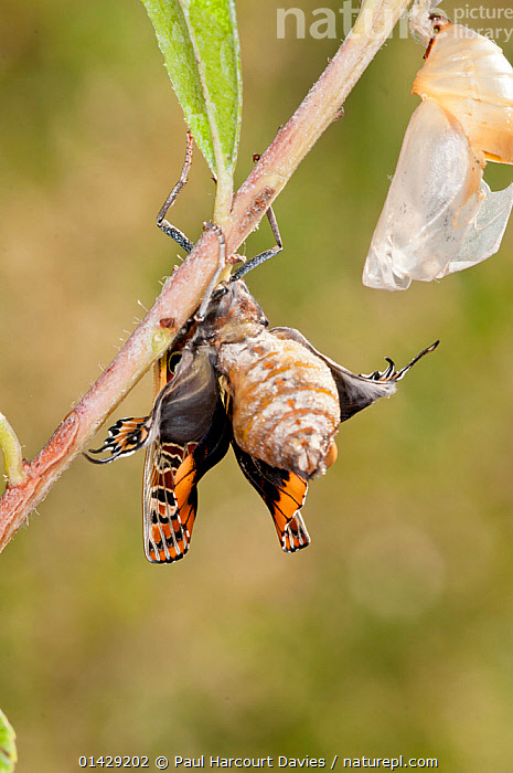 Emergence of Two-tailed Pasha butterfly (Charaxes jasius) Podere Montecucco. Orvieot, Umbria, Italy August. Sequence 8 of 9  ,  ARTHROPODS,BRUSH FOOTED BUTTERFLIES,BUTTERFLIES,CHRYSALIS,EMERGENCE,EUROPE,INSECTS,INVERTEBRATES,ITALY,LEPIDOPTERA,METAMORPHOSIS,NYMPHALIDAE,SEQUENCE,VERTICAL,Growth  ,  Paul Harcourt Davies