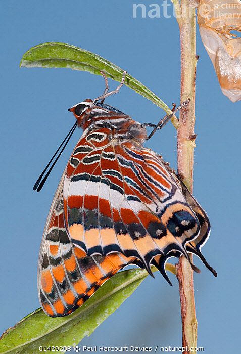 Newly emerged adult Two-tailed Pasha (Charaxes jasius) Podere Montecucco. Orvieot, Umbria, Italy August  ,  ARTHROPODS,BRUSH FOOTED BUTTERFLIES,BUTTERFLIES,EMERGENCE,EUROPE,INSECTS,INVERTEBRATES,ITALY,LEPIDOPTERA,METAMORPHOSIS,NYMPHALIDAE,VERTICAL,Growth  ,  Paul Harcourt Davies