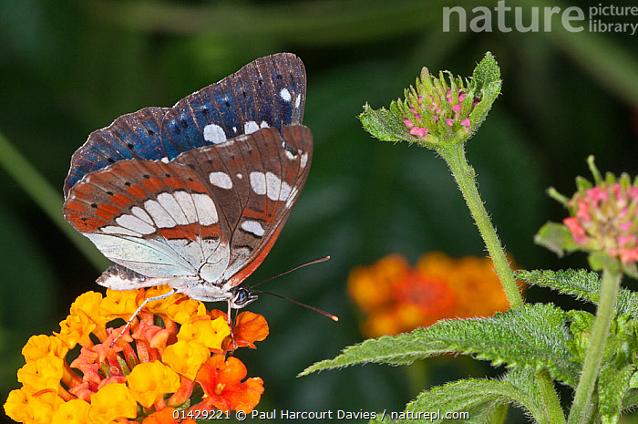 Southern White Admiral butterfly (Limenitis reducta) female. Podere Montecucco, near Orvieto, Umbria, Italy, August  ,  ARTHROPODS,BUTTERFLIES,EUROPE,INSECTS,INVERTEBRATES,ITALY,LEPIDOPTERA  ,  Paul Harcourt Davies