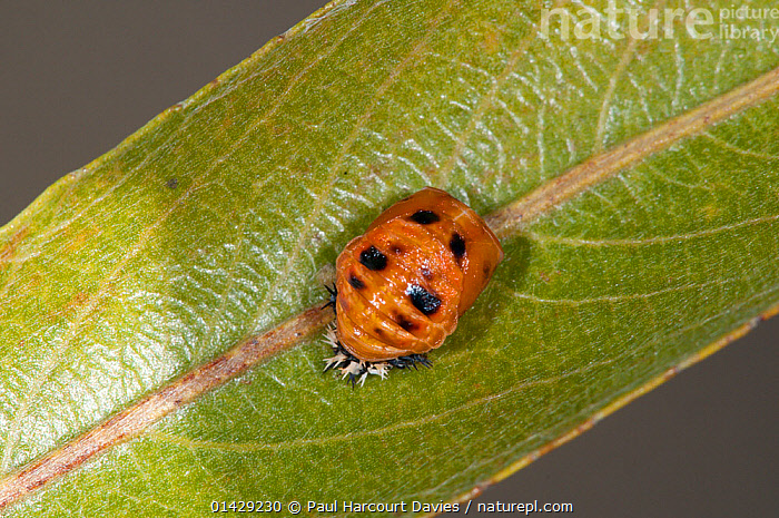 Ladybird pupal stage (Harmonia axyridis) in garden at Podere Montecucco, Orvieto, Umbria, Italy, September  ,  BEETLES,COLEOPTERA,EUROPE,INSECTS,INVERTEBRATES,ITALY,LADYBIRDS,LEAVES,PUPA,YOUNG  ,  Paul Harcourt Davies