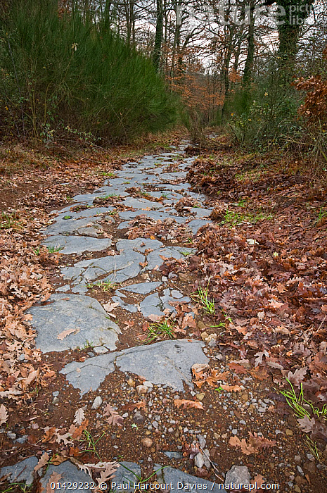 Ancient Roman road made in Basalt near Bolsena, Lazio. Italy, January  ,  ANCIENT,ANCIENT ROME,EUROPE,HISTORICAL,ITALY,JOURNEYS,PATHS,PATHWAYS,ROADS,ROMAN,VERTICAL,WOODLANDS  ,  Paul Harcourt Davies