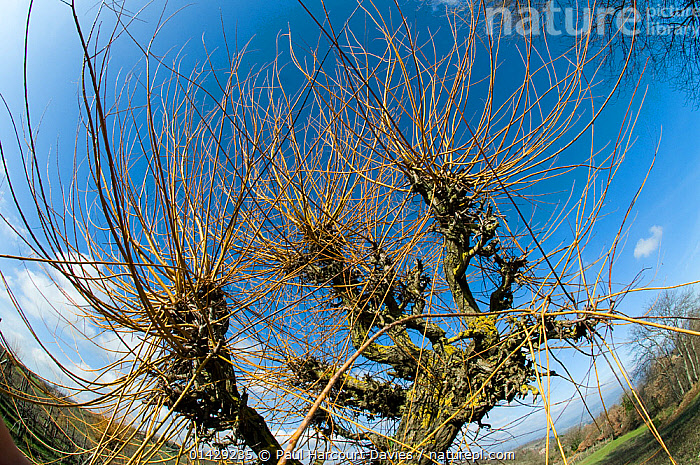 Pollarded willow used to provide withies for tying vines, Orvieto, Italy, September  ,  DICOTYLEDONS,EUROPE,FISH EYE,ITALY,LOW ANGLE SHOT,MANAGEMENT,PLANTS,POLLARDED,SALICACEAE  ,  Paul Harcourt Davies
