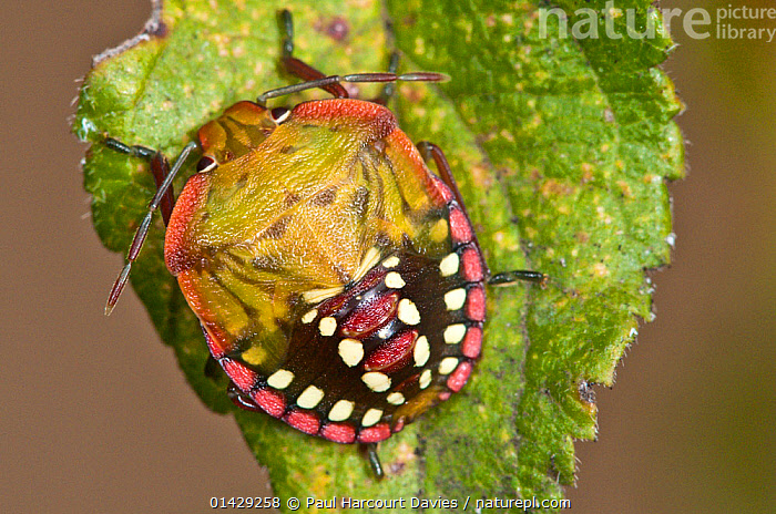 Shield Bug (Nezara viridula) on leaf, Orvieto, Umbria, Italy, September  ,  BUGS,EUROPE,HEMIPTERA,INSECTS,INVERTEBRATES,ITALY,PENTATOMIDAE,SHIELDBUGS  ,  Paul Harcourt Davies