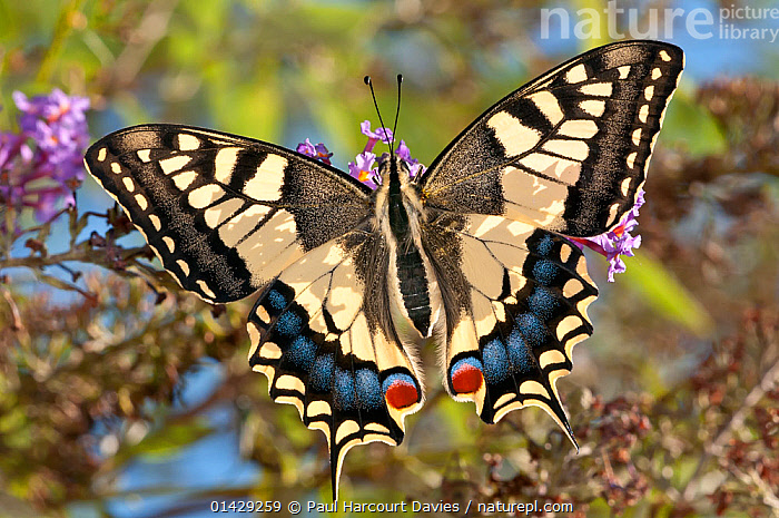 Common Swallowtail butterfly (Papilio machaon) backlit, Podere Montecucco, Orvieto, Umbria, Italy, September  ,  BUTTERFLIES,EUROPE,INSECTS,INVERTEBRATES,ITALY,LEPIDOPTERA,SWALLOWTAIL BUTTERFLIES  ,  Paul Harcourt Davies