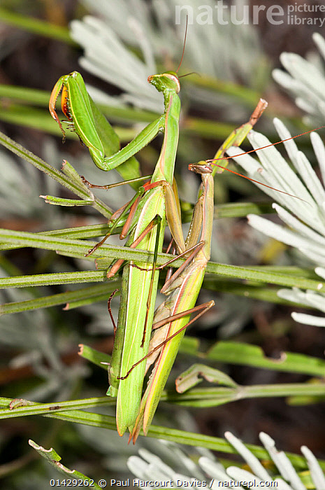 Praying Mantis (Mantis religiosa) mating pair, in  garden at Podere Montecucco, Orvieot, Umbria, Italy, September  ,  ARTHROPODS,COPULATION,EUROPE,FEMALES,INSECTS,INVERTEBRATES,ITALY,MALE FEMALE PAIR,MALES,MANTIDS,MANTODEA,MATING BEHAVIOUR,REPRODUCTION,VERTICAL  ,  Paul Harcourt Davies