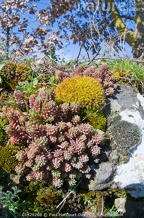 Succulents, mosses and lichens on an ancient wall near Orvieto, Umbria, Italy, February  ,  ALGAE,EUROPE,FLOWERS,FUNGI,ITALY,LICHENS,MOSSES,PLANTS,SUCCULENTS,VERTICAL,WALLS  ,  Paul Harcourt Davies