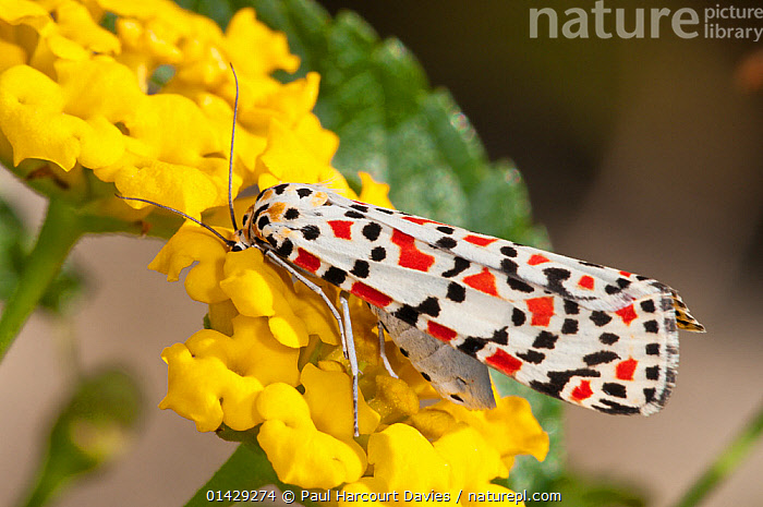 Crimson Speckled moth (Utetheisa pulchella) feeding on nectar, Tarquinia, Lazio, Italy, October  ,  ARCTIIDAE,COLOURFUL,EUROPE,FLOWERS,INSECTS,INVERTEBRATES,ITALY,LEPIDOPTERA,NOCTUID MOTHS,YELLOW  ,  Paul Harcourt Davies