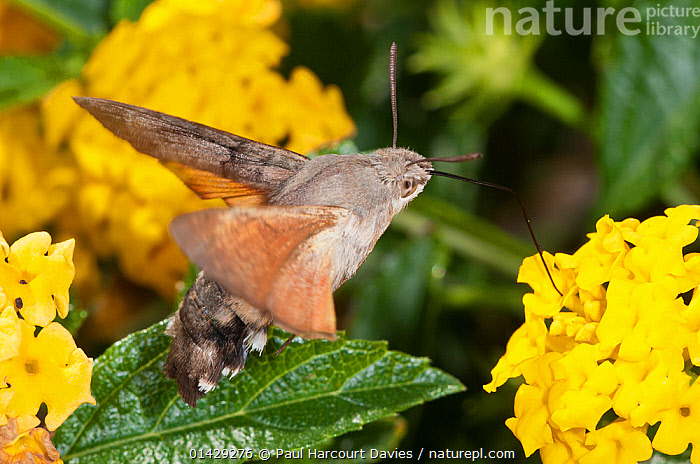 Hummingbird hawkmoth (Macroglossum stellaturum) in flight and feeding on Lantana in garden ayt Podere Montecucco, near Orvieto, Umbria, Italy, October  ,  EUROPE,FEEDING,FLOWERS,HAWKMOTHS,INSECTS,INVERTEBRATES,ITALY,LEPIDOPTERA,MOTHS,POLLINATION,,Dispersal,  ,  Paul Harcourt Davies