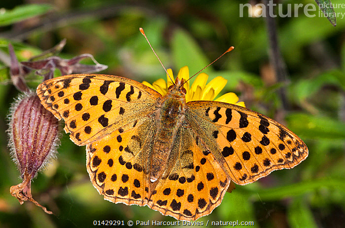 Queen of Spain fritillary butterfly (Isoria lathonia) female, Podere Montecucco, Orvieto, Umbria, Italy, October  ,  ARTHROPODS,BUTTERFLIES,EUROPE,INSECTS,INVERTEBRATES,ITALY,LEPIDOPTERA  ,  Paul Harcourt Davies