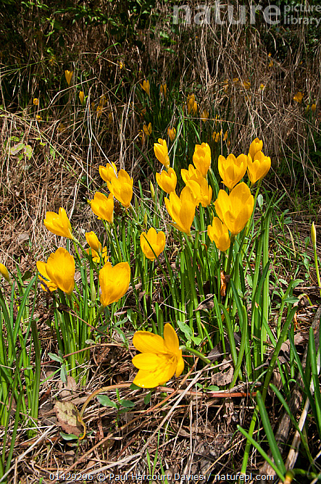 Yellow Sternbergia (Sternbergia lutea) in flower, near the Etruscan tombs at Norchia, near Viterbo, Lazio, Italy, October  ,  AMARYLLIDACEAE,EUROPE,FLOWERS,ITALY,MONOCOTYLEDONS,PLANTS,VERTICAL,YELLOW  ,  Paul Harcourt Davies