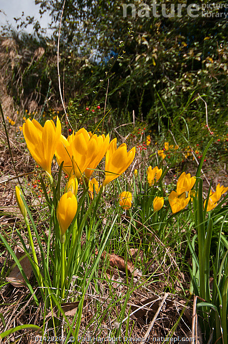 Yellow Sternbergia (Sternbergia lutea) in flower, growing near the Etruscan tombs at Norchia, near Viterbo, Lazio, Italy, October  ,  AMARYLLIDACEAE,EUROPE,FLOWERS,ITALY,MONOCOTYLEDONS,PLANTS,VERTICAL,YELLOW  ,  Paul Harcourt Davies