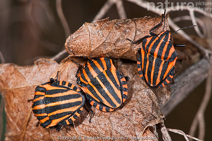 Striped shield bug (Graphosoma italica) in autumn on dead leaves, Podere Montecucco, near Orvieto, Umbria, Italy, October  ,  AUTUMN,BUGS,EUROPE,HEMIPTERA,INSECTS,INVERTEBRATES,ITALY,LEAVES,SHIELDBUGS,STRIPES  ,  Paul Harcourt Davies