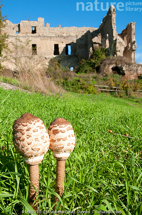 Parasol mushrooms (Macrolepiota procera) before they open, in grass near ruins,  Marturanum,  Lazio, Italy, March  ,  BUILDINGS,COPRINACEAE,EDIBLE,EUROPE,FUNGI,HISTORICAL,INK CAP,ITALY,OLD,RUINS,VERTICAL  ,  Paul Harcourt Davies