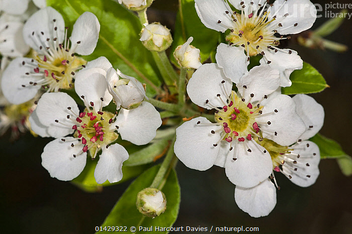 Almond-leaved Pear (Pyrus amygdaliformis) blossom, Uccellini Hills, Tuscany, Italy, April  ,  DICOTYLEDONS,EUROPE,FLOWERS,ITALY,PEARS,PLANTS,WHITE  ,  Paul Harcourt Davies