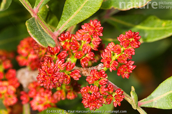 Mastic Tree (Pistacia lentiscus) in flower,  a common component of garrigue vegetation, Uccellini Hills, Tuscany, Italy, April  ,  ANACARDIACEAE,DICOTYLEDONS,EUROPE,FLOWERS,ITALY,PLANTS,RED  ,  Paul Harcourt Davies