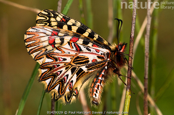 Southern Festoon butterfly (Zerynthia polyxena) showing the pattern on the underwings. Torrealfina, Orvieto, Umbria, Italy, April  ,  BUTTERFLIES,EUROPE,FLOWERS,INSECTS,INVERTEBRATES,ITALY,LEPIDOPTERA,PAPILIONIDAE,PATTERNS,SWALLOWTAIL BUTTERFLIES  ,  Paul Harcourt Davies