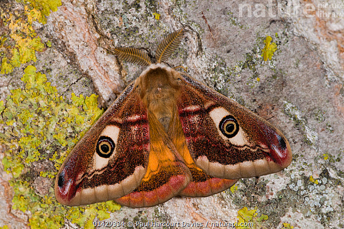Emperor Moth (Saturnia pavoniella) male with wings closed, Orvieto, Umbria, Italy, April  ,  EMPEROR MOTHS,EUROPE,INSECTS,INVERTEBRATES,ITALY,LEPIDOPTERA,MALES,SATURNIIDAE  ,  Paul Harcourt Davies