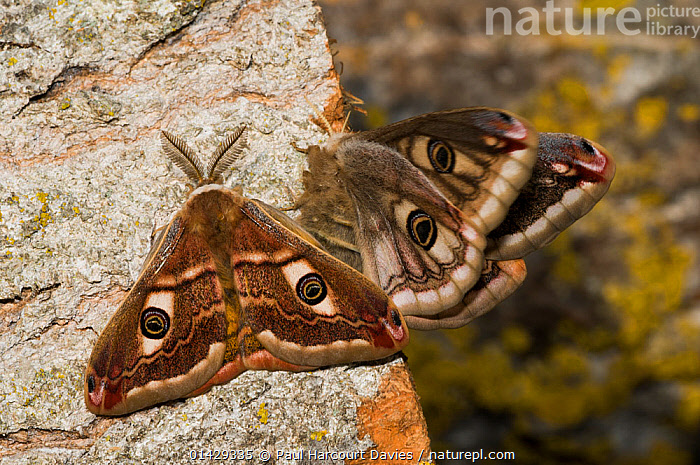 Emperor Moth (Saturnia pavoniella) male female pair, male on left and female on right of the photograph, Orvieto, Umbria, Italy, April  ,  EMPEROR MOTHS,EUROPE,FEMALES,INSECTS,INVERTEBRATES,ITALY,LEPIDOPTERA,MALE FEMALE PAIR,MALES,SATURNIIDAE,SEXUAL DIMORPHISM  ,  Paul Harcourt Davies