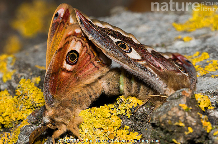 Emperor Moths (Saturnia pavoniella) mating, male on left and female on right of the photograph, Orvieto, Umbria, Italy, April  ,  COPULATION,EMPEROR MOTHS,EUROPE,FEMALES,INSECTS,INVERTEBRATES,ITALY,LEPIDOPTERA,MALE FEMALE PAIR,MALES,MATING BEHAVIOUR,REPRODUCTION,SATURNIIDAE,SEXUAL DIMORPHISM  ,  Paul Harcourt Davies