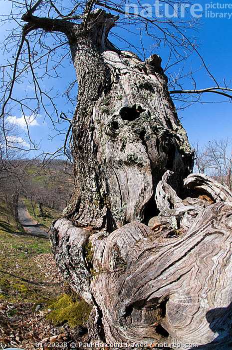 Ancient chestnut tree trunk (Castanea sativa)  on Mount Cimino, near Viterbo, Italy, April  ,  ANCIENT,DICOTYLEDONS,EUROPE,FAGACEAE,ITALY,OLD,PLANTS,TREES,TRUNKS,VERTICAL  ,  Paul Harcourt Davies