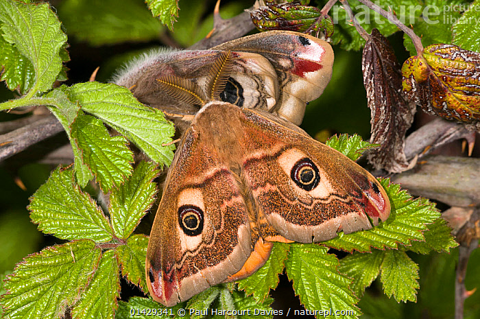 Emperor Moth (Saturnia pavoniella) male female pair, male in front of female,  Orvieto, Umbria, Italy, April  ,  EMPEROR MOTHS,EUROPE,INSECTS,INVERTEBRATES,ITALY,LEPIDOPTERA,MALE FEMALE PAIR,MALES,SATURNIIDAE  ,  Paul Harcourt Davies