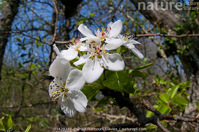 Almond-leaved Pear (Pyrus amygdaliformis) flowers, Uccellini Hills, Tuscany, Italy, April  ,  DICOTYLEDONS,EUROPE,FLOWERS,ITALY,PEARS,PLANTS,WHITE  ,  Paul Harcourt Davies