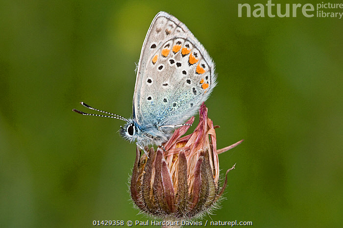 Common Blue butterfly (Polyommatus icarus) male with wings closed, Gargano, Italy, April  ,  ARTHROPODS,BUTTERFLIES,EUROPE,INSECTS,INVERTEBRATES,ITALY,LEPIDOPTERA,MALES  ,  Paul Harcourt Davies