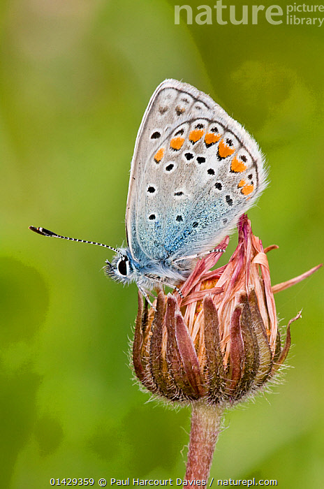 Common Blue butterfly (Polyommatus icarus) male with wings closed, Gargano, Italy, April  ,  ARTHROPODS,BUTTERFLIES,EUROPE,INSECTS,INVERTEBRATES,ITALY,LEPIDOPTERA,MALES,VERTICAL  ,  Paul Harcourt Davies