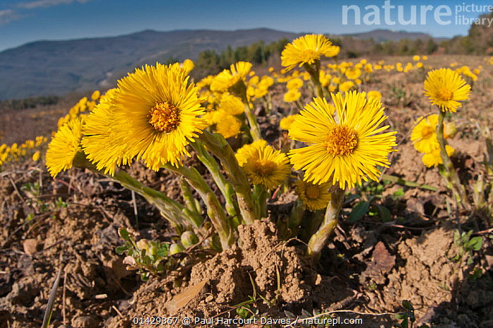 Coltsfoot (Tussilago farfara) in flower, growing in disturbed ground near Torrealfina, Orvieto, Umbria, Italy, April  ,  ASTERACEAE,COMPOSITAE,DICOTYLEDONS,EUROPE,FLOWERS,ITALY,PLANTS,YELLOW  ,  Paul Harcourt Davies