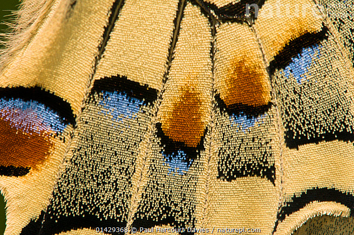 Swallowtail butterfly (Papilo machaon) close-up of wings. Orvieto, Italy, March  ,  BUTTERFLIES,CLOSE UPS,CRYPTIC,EUROPE,INSECTS,INVERTEBRATES,ITALY,LEPIDOPTERA,PATTERNS,SWALLOWTAIL BUTTERFLIES,WINGS  ,  Paul Harcourt Davies