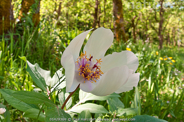 Male peony (Paeonia mascula) in flower, white variety found in North East Sicily, Bosco di Ficuzza, Palermo, Sicily, May  ,  DICOTYLEDONS,EUROPE,FLOWERS,ITALY,PAEONIACEAE,PLANTS,SICILY,WHITE  ,  Paul Harcourt Davies